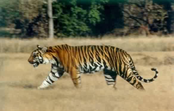 Royal Bengal Tiger!