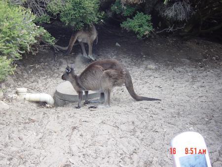 Kangaroo..